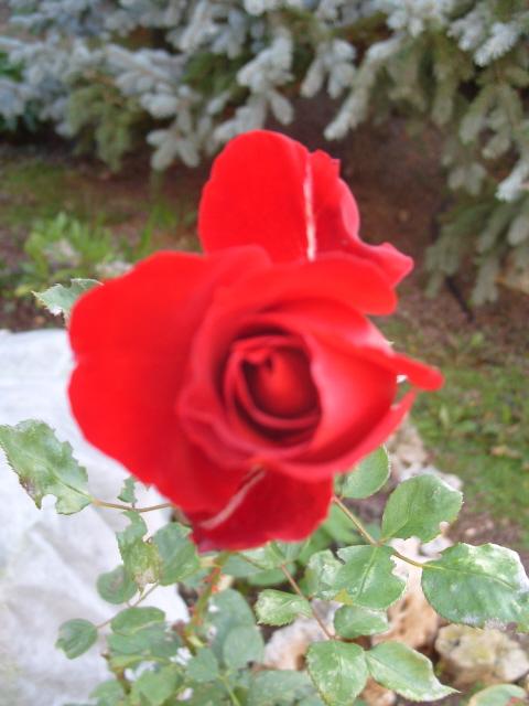 Petit album de roses - Page 3 S1050123