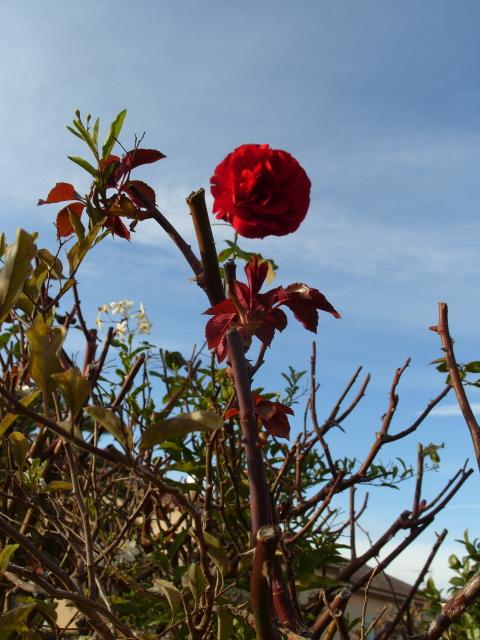 Petit album de roses - Page 3 S1050126