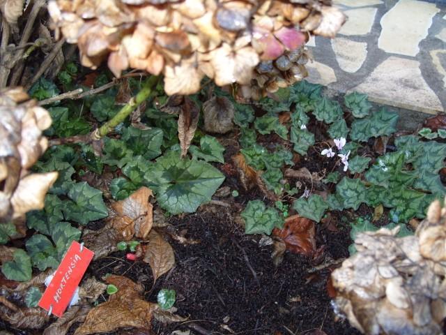 Hortensia des jardins S1050147