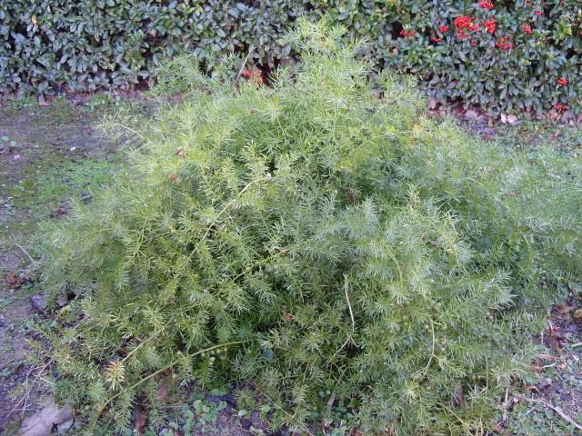 Asparagus S1050149