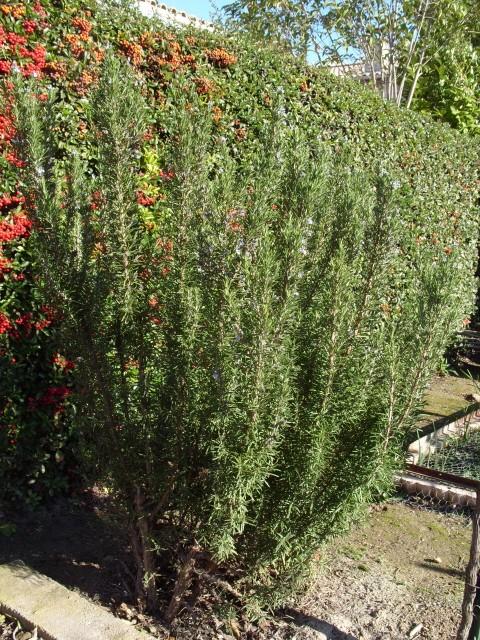 romarin des jardins S1050153
