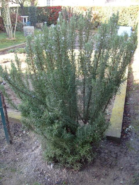 romarin des jardins S1050154
