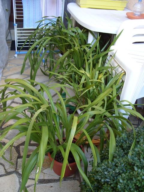 cymbidiums et phalaenopsis S1050157