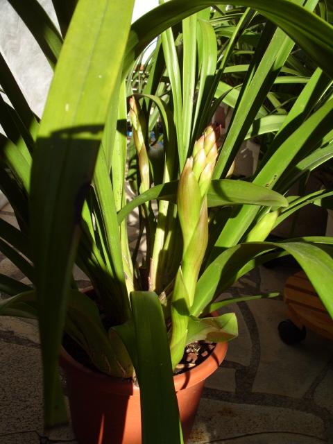 cymbidiums et phalaenopsis S1050159