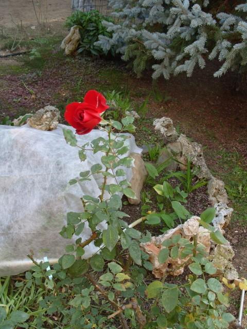 Petit album de roses - Page 3 S1050180