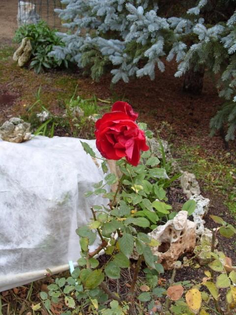 Petit album de roses - Page 3 S1050181