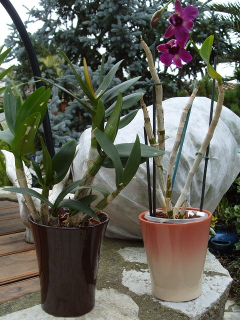 cymbidiums et phalaenopsis S1050240