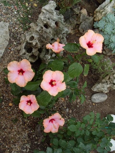 hibiscus Alexandra S1051811