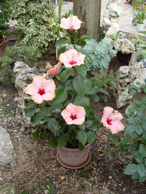 hibiscus Alexandra S1051812