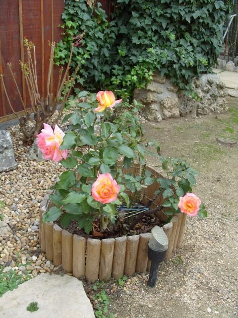 Petit album de roses - Page 3 S1051841