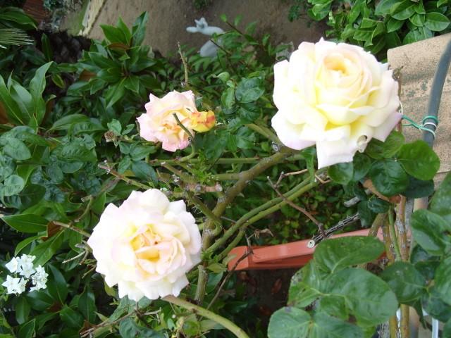 Petit album de roses - Page 3 S1051842