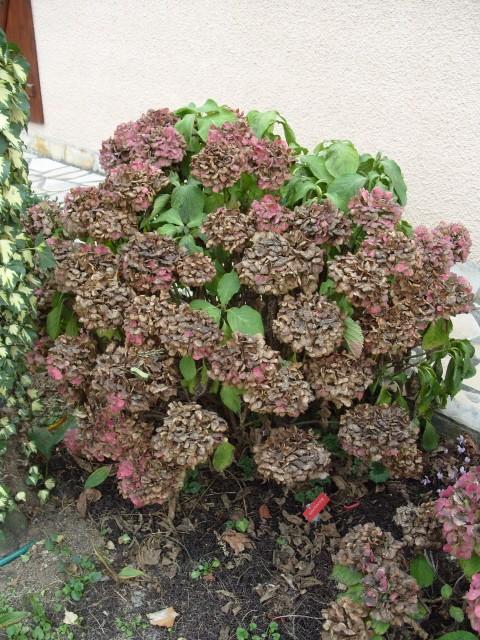 Hortensia des jardins S1051914