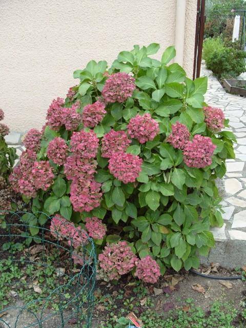 Hortensia des jardins S1051915