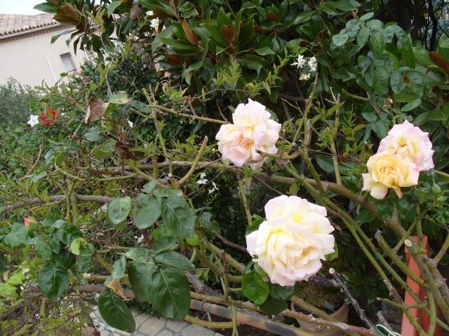 Petit album de roses - Page 3 S1051916