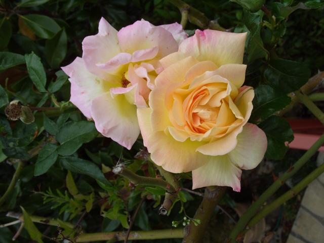 Petit album de roses - Page 3 S1051917