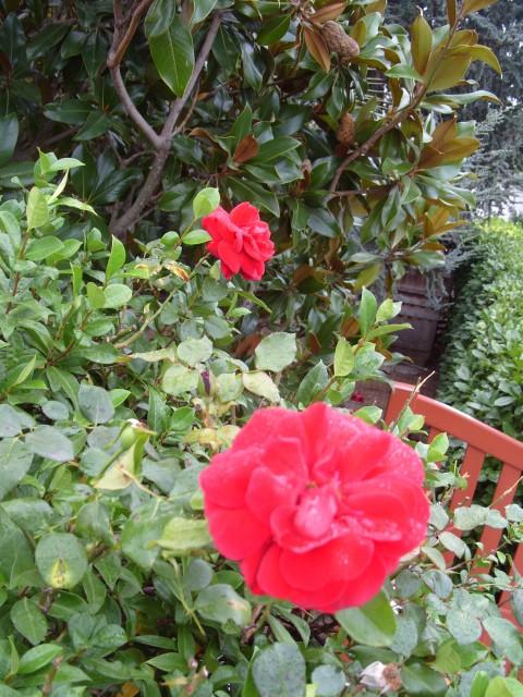 Petit album de roses - Page 3 S1051918