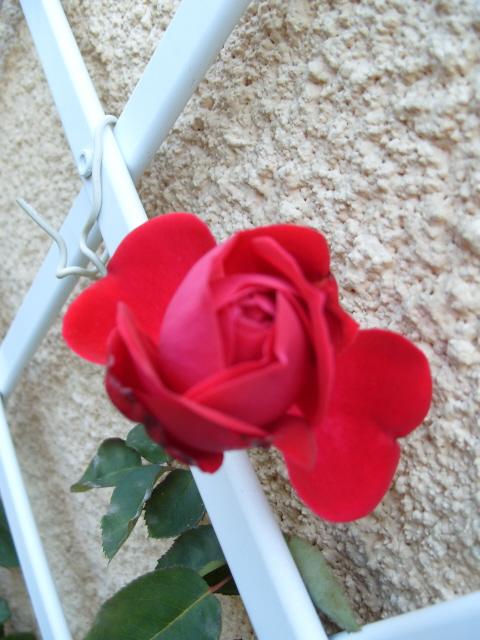 Petit album de roses - Page 3 S1051920