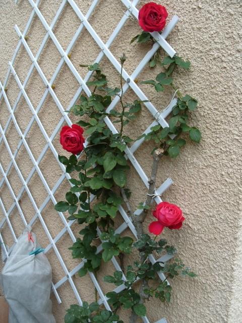 Petit album de roses - Page 3 S1052019