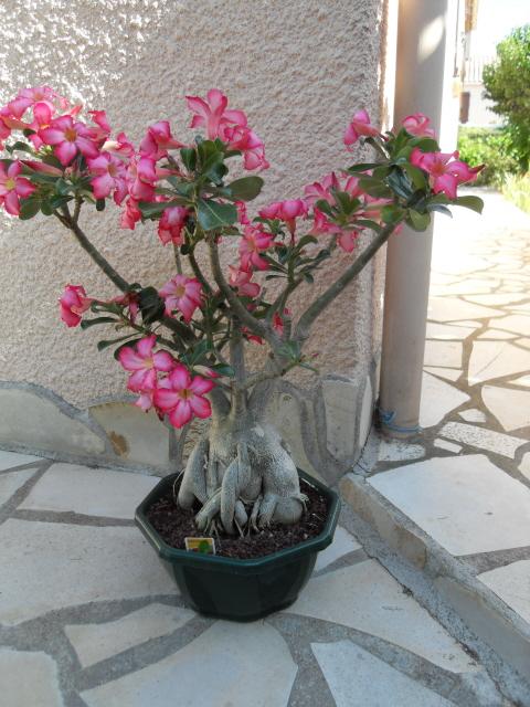 nos bonsaïs et autres ficus Sdc10211