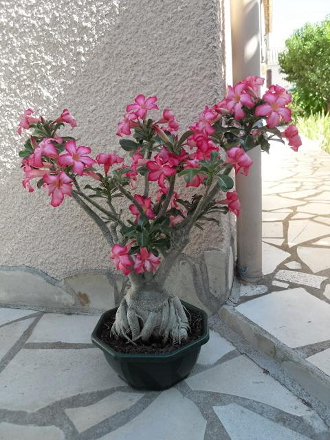 nos bonsaïs et autres ficus Sdc10212