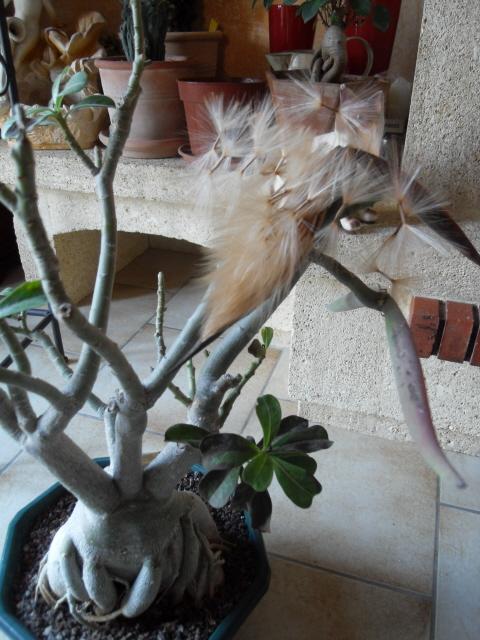 nos bonsaïs et autres ficus Sdc10614