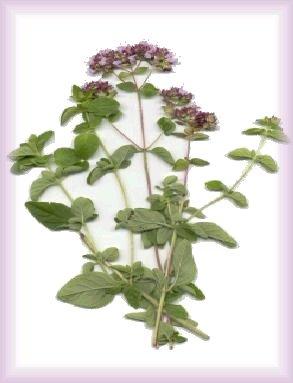 """plantes medicinales """"apprenez en jouant"""" - Page 11 Plant10"""