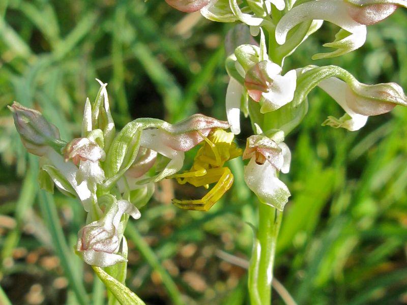 orchidées et araignées 1_auf_10