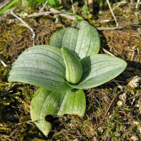 1er Ophrys lutea O_lute13