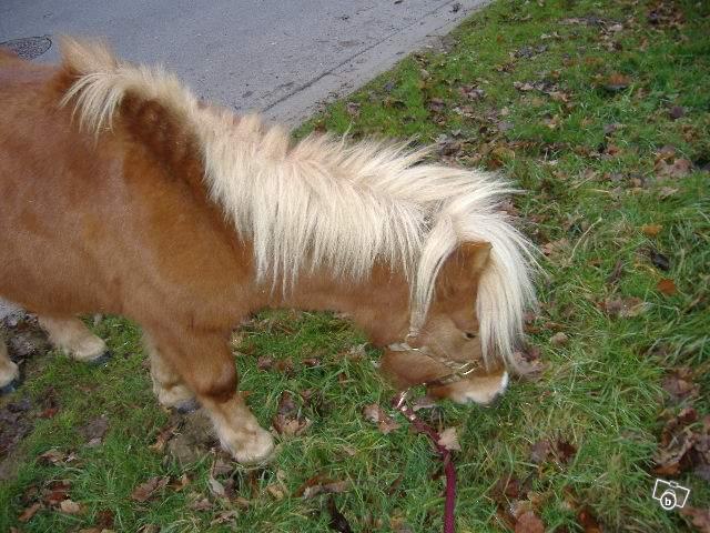 (68) Unesees poney shetland 200€ 23494710