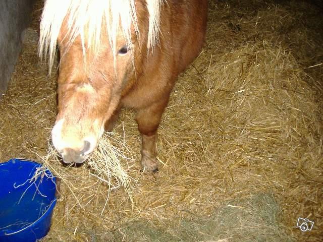 (68) Unesees poney shetland 200€ 23612210