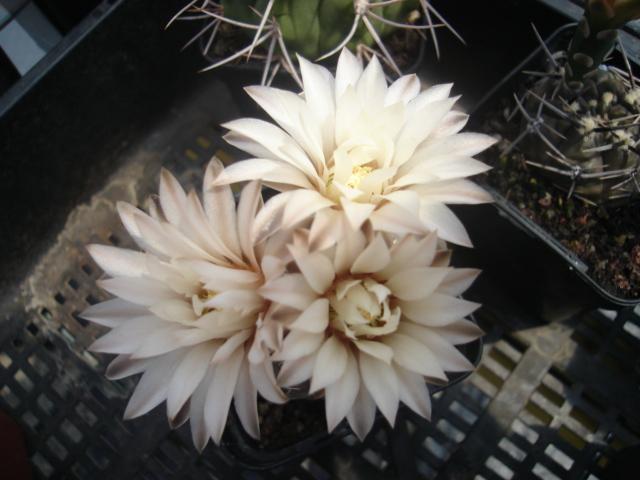 spring cacti flowers - Page 7 Gim_0010
