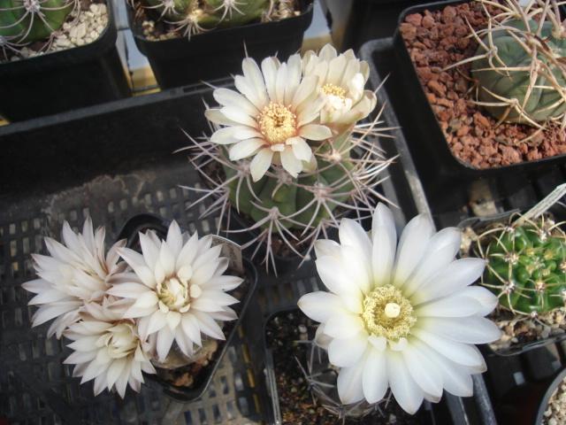 spring cacti flowers - Page 7 Gim_0012