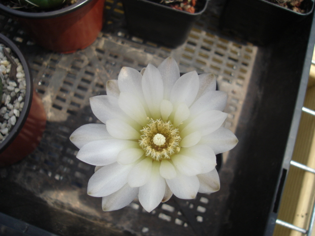 spring cacti flowers - Page 7 Gymnos12