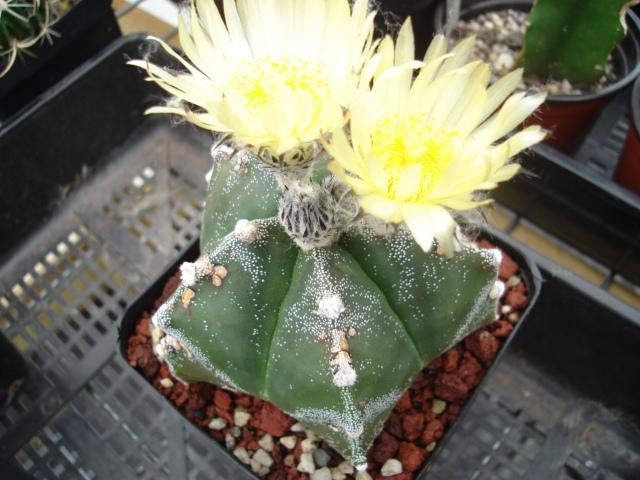 spring cacti flowers - Page 4 Myriog10