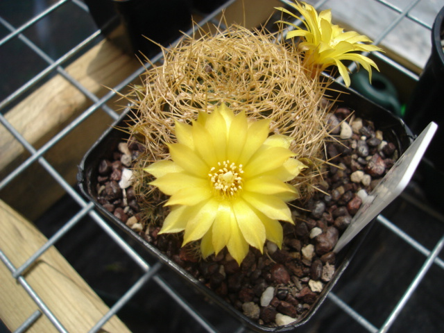 spring cacti flowers - Page 6 Sulor_10