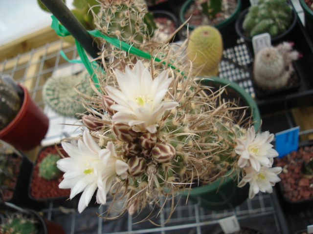 spring cacti flowers - Page 4 Tod_0010