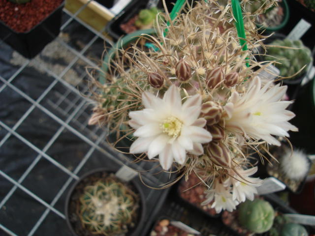 spring cacti flowers - Page 4 Tod_0011