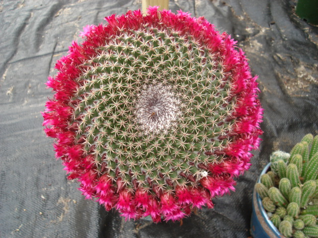 spring cacti flowers - Page 4 Tod_0012