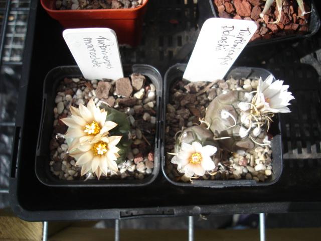 spring cacti flowers - Page 6 Turbi_10