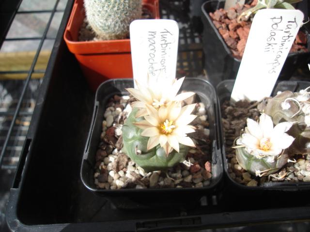 spring cacti flowers - Page 6 Turbi_11