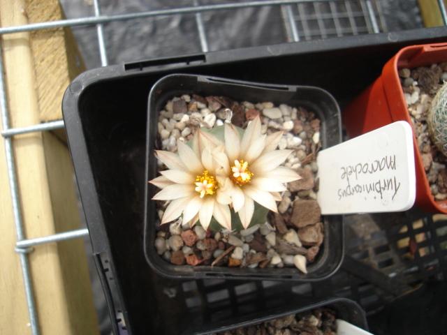 spring cacti flowers - Page 6 Turbi_12