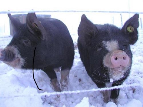 A proposito di maiali - Pagina 11 Pigs0110