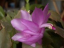 Schlumbergera forever - Page 2 Planto14