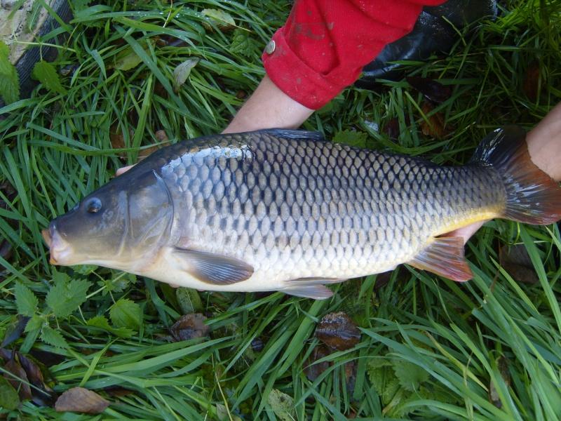vidange et pêche d'un étang. Carpe_11