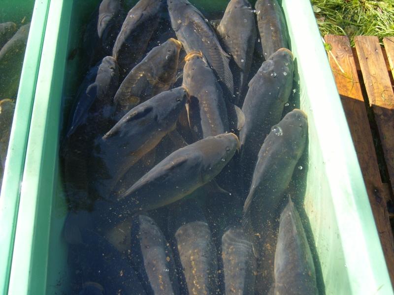 vidange et pêche d'un étang. Carpes10