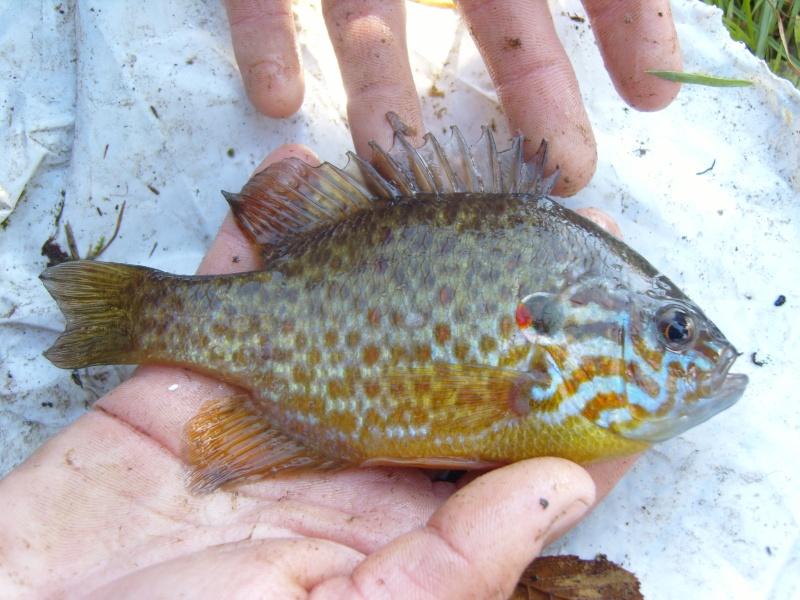 vidange et pêche d'un étang. Perche10