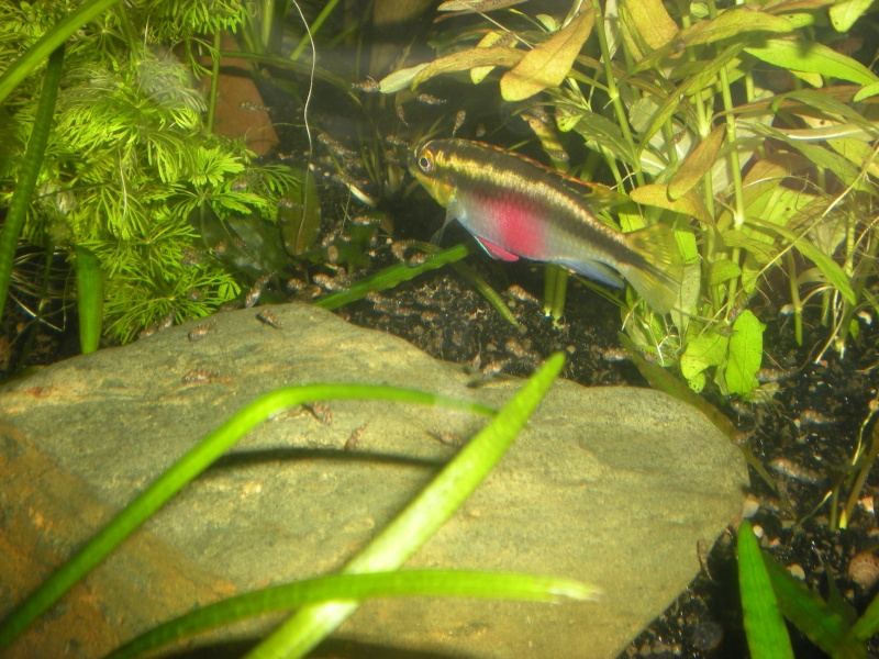 Salvanah : pelvicachromis pulcher - Page 2 Dscn4711
