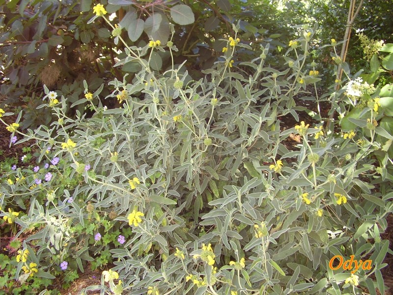 Le feuillage couleur argent. 2010_032