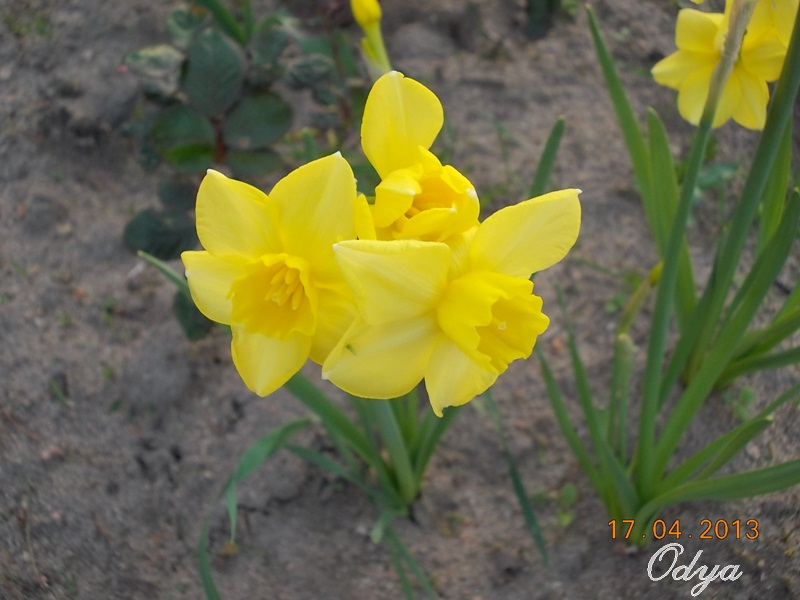 Jonquille, Narcisse - Page 4 2013_a97