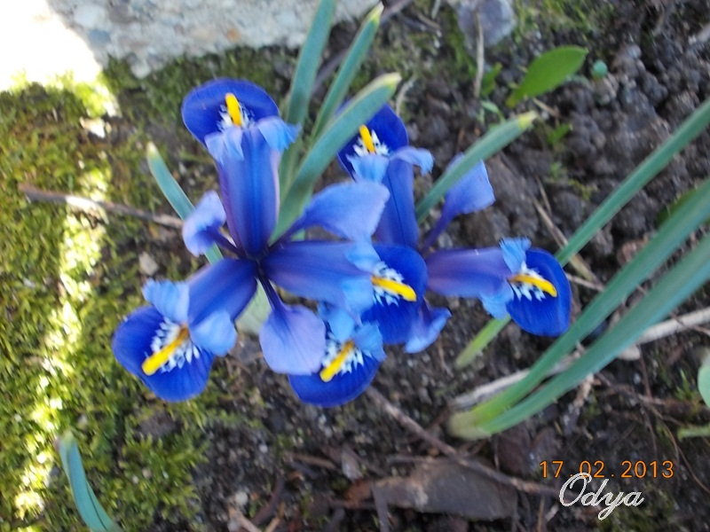 Iris reticulata - Page 3 2013_f22